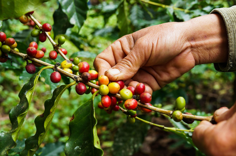 Picking coffee
